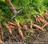 🔥 🥕 Karotte  alte Sorte aus Albanien 50 frische Samen sehr aromatisch Karotten