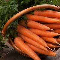 1500 Danvers Carrot Seeds Free Shipping USA Seller