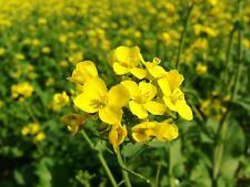 Seeds Mustard Yellow Flower Herb Wild Annual Garden Organic Heirloom Ukraine