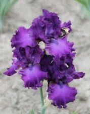 "1 Tall Bearded Iris ""Swingtown""- Fragrant - Large Rhizome, size #1"