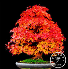 50 Pcs Seeds Red Japanese Maple Plants Tree Bonsai Garden Decor Rare 2019 New N
