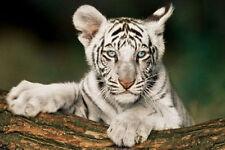 WHITE TIGER CUB POSTER (61x91cm)  PICTURE PRINT NEW ART