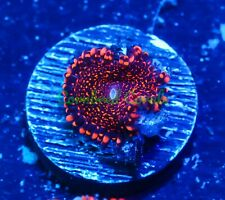 Cornbred's Maul Godz Paly - 1 Polyp - Frag - Live Coral