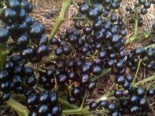 Solanum melanocerasum-Garden huckleberry bush seeds- 15 seeds