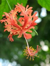 "Hibiscus Schizopetalus, Japanese Lantern (3)  8"" Unrooted Cutting"