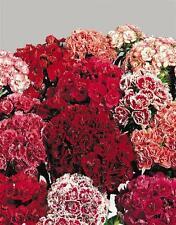 Sweet William Super Duplex Mix Seed Double Flower Good Vase Life