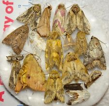 Unidentifed Moth Species Insect Collection Texas #LCC-32 Euerythra Schinia Etc