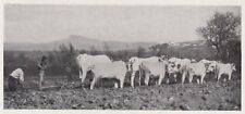D1980 Bovini della Val di Chiana al lavoro - Stampa d'epoca - 1936 vintage print