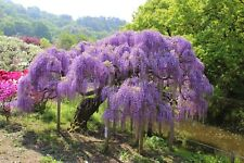 Chinese Wisteria (Wisteria sinensis) 10 seeds