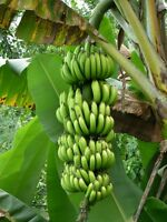 4 graines BANANIER DU PARADIS (Musa Paradisiaca)H239  BANANA SEEDS SAMEN SEMILLA