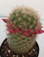 "Mammillaria Pilcayensis/Bristle Brush Cactus in 2.5 pot 3"" tall/ Pink flowers"