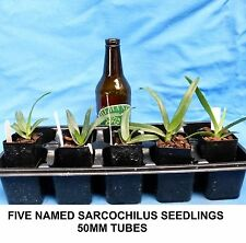 THG - Orchid - Sarcochilus FIVE x 40MM SEEDLINGS clearance