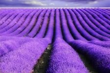 200 French Provence Lavender Seeds -Very Fragrant can grow in Pot or Bonsai