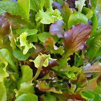 MESCLUN - HONEYMOON MIX - 1200 Seeds [..six lettuce varieties for a leafy salad]