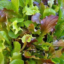 MESCLUN - HONEYMOON MIX - 4000 Seeds [..six lettuce varieties for a leafy salad]