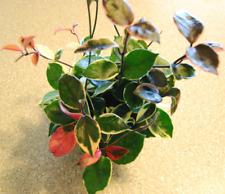 Hoya Carnosa Tri Color Wax Succulent Unique Plant - Fresh Cutting