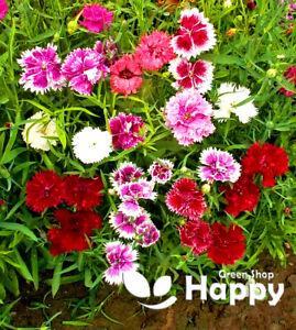 PINK - DOUBLE MIX - Dianthus Chinensis - 1000 seeds - Cut flower DWARF
