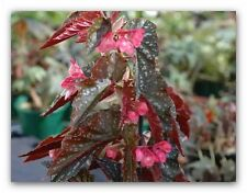 begonias pink osoto,new stock rich burgundy colour under-leaf, now only $19.95