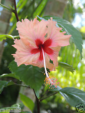 Hibiscus-Sprinkle Rain,Rosa Sinensis, Live Plant, Showering Peach Flowers!