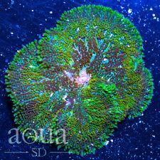 New listing Asd - 080 Magic Forest Maxi Mini Anemone - Wysiwyg - Aqua Sd Live Coral Frag