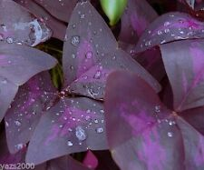 OXALIS PURPLE SHAMROCK CLOVER  BULBS =20  GOOD LUCK PLANT
