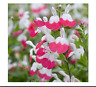 50 mix  seeds Rare Fragrant Salvia  Easy to Grow, Exotic Flower