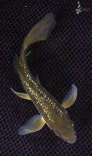 """5.5"""" GIN RIN CHAGOI Butterfly Koi live fish nextdaykoi NDK"""