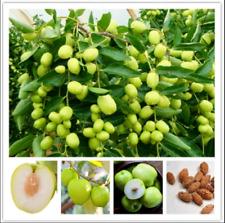 Jujube Bonsai Big Fruit Tree Fruit Tropical 10 Pcs Seeds Plants Garden Home New