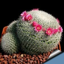cactus and succulent, mammillaria elegans,free pot  as one set