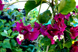 Bougainvillea Burgundy,plant rooty cutting