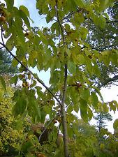 10 MEADOR PERSIMMON TREE SEEDS - Diospyros virginiana 'Meador'