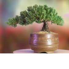 A Bonsai Juniper 6 to 7 Year Old Tree in Han-Kengai Cup Garden Home New
