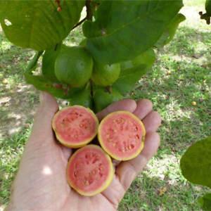 20 Seeds of Psidium Guajava