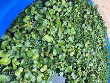 water hyacinth pond plants