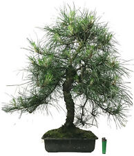 large Pinus nigra  (austrian black pine)  outdoor bonsai tree