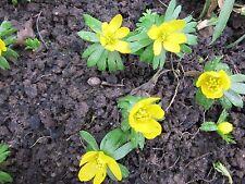 100 Samen für Winterlinge  **blühen im Winter**   winterhart   neue Ernte
