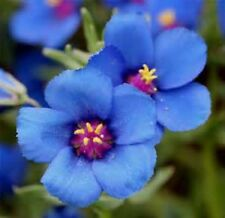 BLUE PIMPERNEL 50 FRESH SEEDS FREE USA SHIPPING