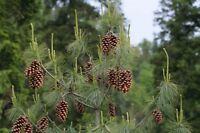Pinus excelsa, schöner Nadelbaum, mediterran, 20 Samen, 20 seeds