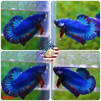 BS118 -Live Betta Fish High Quality Halfmoon Plakat HMPK Galaxy Koi - USA Seller