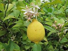 Huile essentielle de Citron pure et naturelle 1 litre