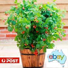 200 X FRESH RASPBERRY FRUIT / TREE SEEDS