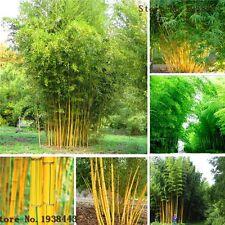 100PCS Rare Phyllostachys Aureosulcata Bamboo Seeds Seed Plant DIY Home Garden