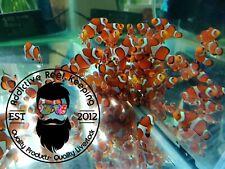 Ocellaris Clownfish, Captive-Bred (Amphiprion ocellaris ) Nemo!