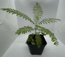 New listing Jacaranda Live Plant Purple Flowering Bonsai Tree (4 Months)