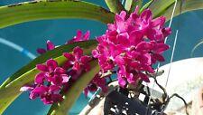 Orchid Vanda Rhynchostylis gigantea three plant package Fragrant Tropical