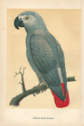 Antique Color Plates (Holden, 1888) – African Grey Parrot