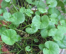 15 graines Herbe de la Longévité(Hydrocotyle Asiatica)GOTU KOLA M61 SEEDS SAMEN