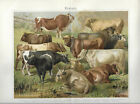 Rinder Tiere Chromolithographie 1897 - Altes Bild Farbdruck Antique Print Litho