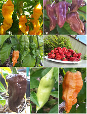 Ultimate Bhut Jolokia/Ghost Chilli Collection - One of the Hottest in the World