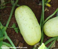 Hybrid Shivalik  Asian/Indian Cucumber 10 finest Seeds